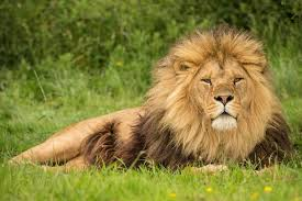 male lion wallpapers male lion killed at safari park after females in pride attacked