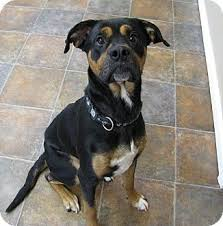 american pitbull terrier rottweiler mix marlin sponsored adopted dog 0608 lisbon oh boxer