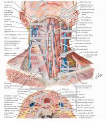 Neck Cross Sectional Anatomy Of The Thyroid And Parathyroid Glands Superficial Veins And