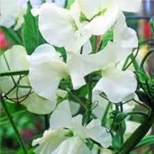 sweet peas flowers sweet peas seed royal white sweet pea flower seeds