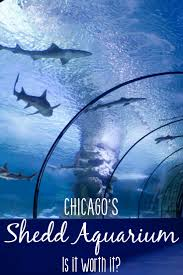 aquarium with so much to do in chicago is the shedd aquarium worth it