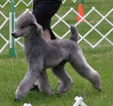 haircutsfordogs poodlemix 52 best manly standard poodle cuts images on pinterest standard