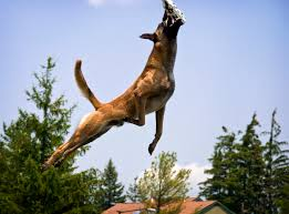 belgian shepherd jumping dock jumping the little gsp page 2