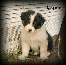 australian shepherd kid friendly pine ridge aussies registered australian shepherds for sale in