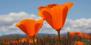 antelope valley california poppy reserve visit california