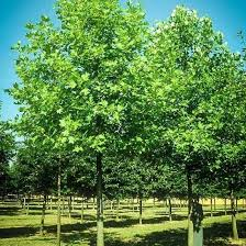 Backyard Shade Trees 39 Best Trees Images On Pinterest Evergreen Garden Gardens And