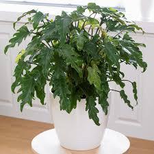 Fragrant Indoor House Plants Buy Indoor Plants By Waitrose Garden