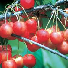 Cherry Tree Fruit - whitegold sweet cherry cherry trees stark bro u0027s