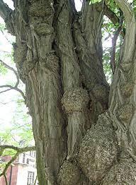 false acacia keele