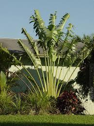 Hawaii the travelers images Giant hawaiian travelers palm tree kens nursery jpg
