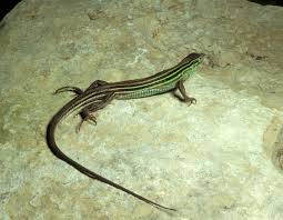 six lined racerunner mdc discover nature