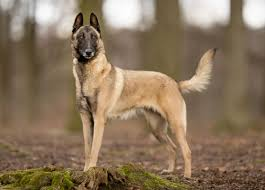 belgian shepherd how much belgian malinois grooming bathing and care espree animal products