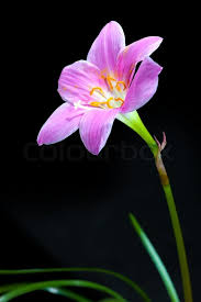 Rain Lily Rain Lily Fairy Lily Fadjar U0027s Pink Zephyranthes Rosea Isolated