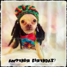 chihuahua birthday card chihuahua reggae dread locks card funny