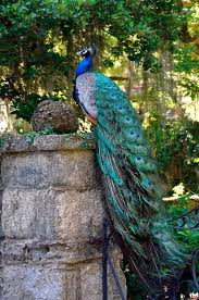 best 25 picture of a peacock ideas on pinterest peacock and