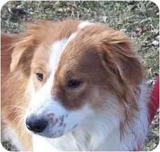 australian shepherd or border collie freckles adopted dog an00149 anderson in australian