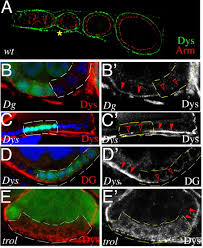 perlecan and dystroglycan act at the basal side of the drosophila