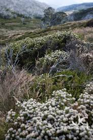 native plants victoria bogong high plains vic u2013 jess gibbs photography