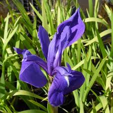 native uk pond plants japanese water iris blue iris laevigata blue wetland plants