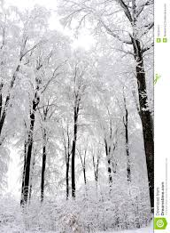 white trees in winter season royalty free stock photography