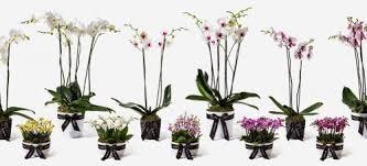 Orchid Plants Orchid Plants Flowerbx