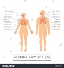 respiratory system human cartoon vector illustration stock vector