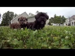 affenpinscher puppies for sale in ohio maltese puppies for sale columbus ohio cleveland cincinatti