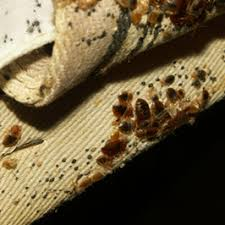 What Does Bed Bugs Eggs Look Like How To Find Bed Bugs Bed Bugs Get Them Out And Keep Them Out