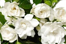 Japanese Flowers Pictures - japanese flower meanings flower meaning