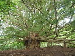 Largest Botanical Garden by The Great Banyan A Tree With The World U0027s Largest Area Of The