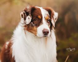 is an australian shepherd smart australian shepherd smart working dog australian shepherd and