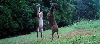 Tennessee wildlife images Deer fight caught on camera in tennessee trending viral news jpg
