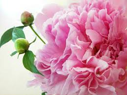 The Pink Peonies by Pink Peonies Gomi Interesting Pink Peonies Rachel Parcell Page