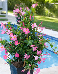 sundaville beauty rose world u0027s no 1 mandevilla dipladenia