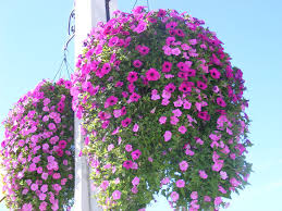 hanging flowers beautiful hanging flowers by blueivyviolet on deviantart