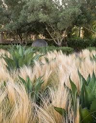 pennisetum bluedale plants