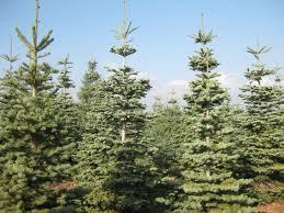 fir silver tip bishop and mathews trees