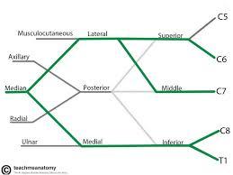 the brachial plexus sections branches teachmeanatomy