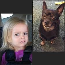 Chloe The Meme - my aunt s dog looks like side eyeing chloe imgur