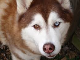 american pitbull terrier vs siberian husky the siberian husky animals library