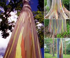 Rainbow Eucalyptus Synapse Science Magazine Weird And Wonderful The Technicolor Tree