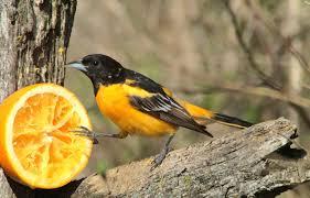 Minnesota birds images Birds of minnesota google search backyard birds pinterest bird jpg