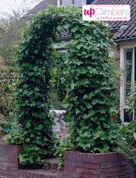 ivy hedera my perfect garden