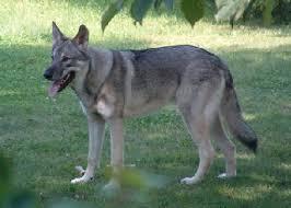 belgian sheepdog wolf mix dog breeds mixed with wolf dog wolf shepherd i used to have a