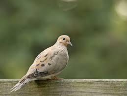 it u0027s open season on mourning doves in parts of ontario toronto star