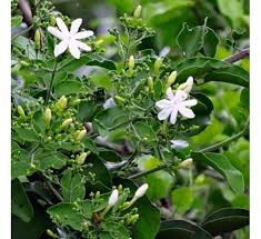 buy jai plant at cheap price india s plants and