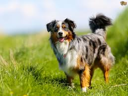 australian shepherd cost border collie dog breed information buying advice photos and