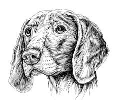 sketch of dog weimar pointer vector illustration stock vector