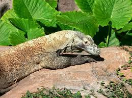komodo dragon u0027s largest lizard strange animals