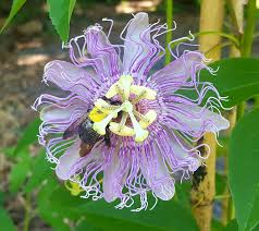 native plants passionflower vine grows relaxing with passion flower smile herb